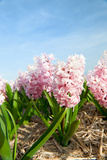 Pink Hyacinths Photographic Print by  Ivonnewierink
