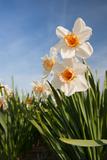 Ivonnewierink - Daffodils in the Fields - Fotografik Baskı