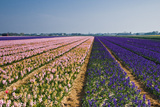 Pink and Purple Hyacinth Fields Photographic Print by  Colette2