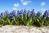 Hyacinths Photographic Print by  Corepics