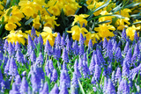 Yellow Daffodils and Blue Grape Hyacinths in Spring Garden 'Keukenhof', Holland Photographic Print by  dzain