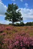 Meadows or Fields Full with Purple Heather Photographic Print by  Ivonnewierink