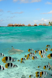 Shark and Butterfly Fish at Bora Bora Photographic Print by  pljvv