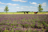 Horses in Landscape behind the Lavender Fields Prints by  Ivonnewierink