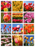 Tulip Collage Photographic Print by  SNEHITDESIGN