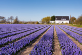 Field of Violet Flowers - Hyacint Photographic Print by Peter Kirillov