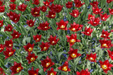 Maroon Tulips with Jagged Petals in the Garden Together with Blue Hyacinths. Photographic Print by  protechpr