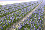 Hyacinth Field Photographic Print by  ErikdeGraaf