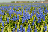 Landscape from Fields with Blue Grape Hyacinths Photographic Print by  Ivonnewierink