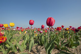 Colorful Dutch Tulips in Flower Fields Outdoor Photographic Print by  Ivonnewierink