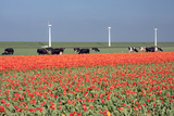 Dutch Landscape: A Dike with Windmills, Cows and Tulips Photographic Print by  kruwt