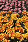 Tulip Garden Photographic Print by Leonard Zhukovsky