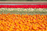Multicolor Tulip Fields Photographic Print by  izuriphoto