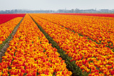 Dutch Tulip Fields in Springtime Photographic Print by  picturepartners