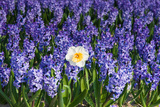 Daffodil and Purple Hyacinths Photographic Print by  Colette2