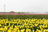 Tulip Field near the Coast of Friesland(Holland) Photographic Print by  tpzijl