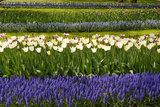 White Tulips with Blue Hyacinths in the Garden View from the Side. Photographic Print by  protechpr