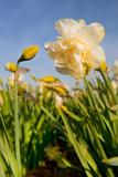 Ivonnewierink - Double White and Yellow Daffodils in the Flower Bulb Fields - Fotografik Baskı