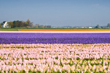 Hyacinth Fields in Purple and Pink Photographic Print by  Colette2