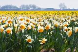 Colette2 - Fields Full of Daffodils in Many Colors - Fotografik Baskı