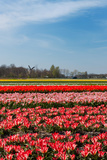Fields with Tulips in Holland Photographic Print by  Ivonnewierink