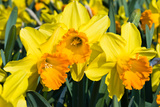 Orange and Yellow Daffodils in Spring Photographic Print by  Colette2