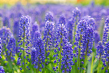 Muscari Armeniacum or Grape Hyacinth in Spring Garden 'Keukenhof', Holland Photographic Print by  dzain