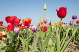 Colorful Dutch Tulips Photographic Print by  Ivonnewierink