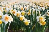 Colette2 - Field of Daffodils in close View - Fotografik Baskı