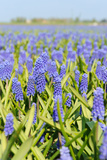 Blue Grape Hyacinths Photographic Print by  Ivonnewierink
