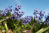 Purple Hyacinths Photographic Print by  Ivonnewierink