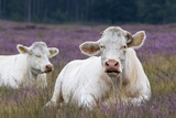 Resting Cow in Heather Photographic Print by  Ivonnewierink