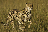Cheetah Running Photographic Print by Manoj Shah