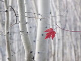 A Single Red Maple Leaf in Autumn, against a Background of Aspen Tree Trunks with Cream and White B Photographic Print by Mint Images - David Schultz