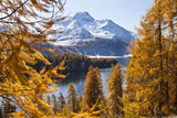Larch Trees by Lake Sils and Piz De La Margna, Engadin, Switzerland Photographic Print by F. Lukasseck