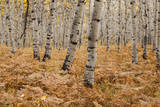 Usa, Utah, Aspen Forest in Autumn Photographic Print by Mike Kemp