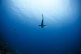 Grey Reef Shark Carcharhinus Amblyrhynchos Photographic Print by  nitrogenic.com