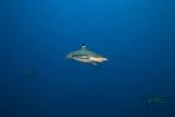 Blacktip Reef Shark Carcharhinus Melanopterus Photographic Print by  nitrogenic.com