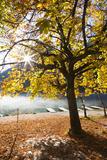 Chestnut Tree in Autumn, Lake Hintersee, Bavaria, Germany Photographic Print by F. Lukasseck