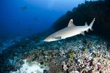 White Tip Reef Shark Triaenodon Obesus Photographic Print by  nitrogenic.com