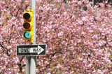 Traffic Signal Standing in Front of Cherry Blossom Photographic Print by Toshi Sasaki