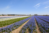 Dutch Landscape with Hyacinth Flowers Photographic Print by  Ivonnewierink