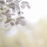Hydrangea Paniculata Photographic Print by Kaori Yoshida