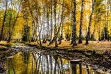 Autumn Birch Forest, Hemu, Xinjiang China Photographic Print by Feng Wei Photography