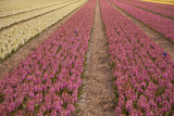 Pink and Yellow Hyacinth Fields in the Netherlands Photographic Print by Caroyl La Barge