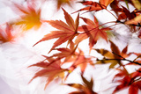 Maple Photographic Print by higrace photo