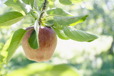 Usa, New York, Warwick, Ripe Apple Hanging from Branch Photographic Print by Jamie Grill