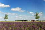 Horses in Landscape behind the Lavender Fields Photographic Print by  Ivonnewierink
