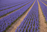 Blue Purple Hyacinth Fields, the Netherlands Photographic Print by Caroyl La Barge