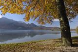Tree in Autumn, Kochelsee, Kochel Am See, Bad Tolz-Wolfratshausen, Upper Bavaria, Bavaria, Germany Photographic Print by Martin Ruegner